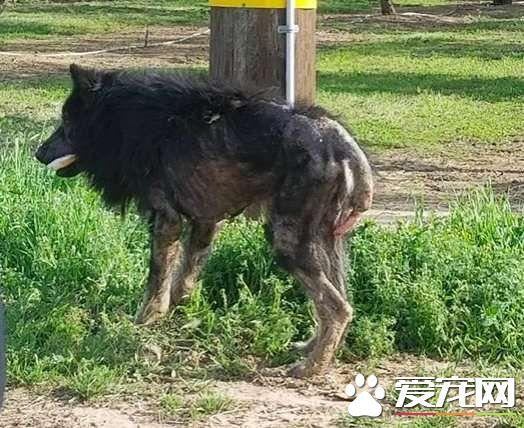加州路边有只怪物?原来是一只受伤的德国狼犬