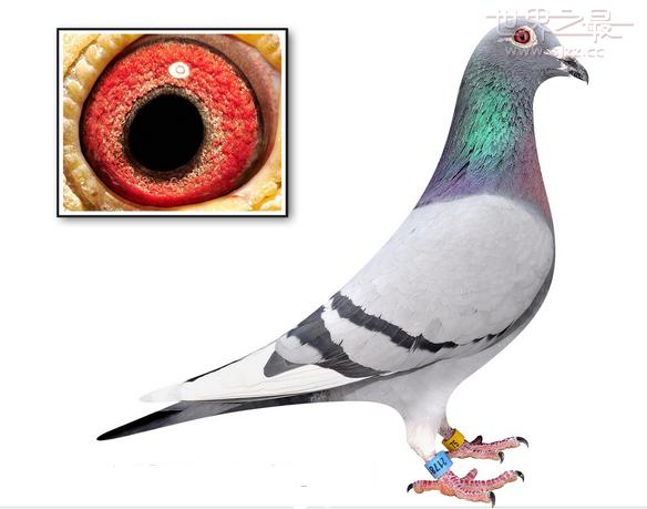 世界最贵的信鸽拍卖245万元